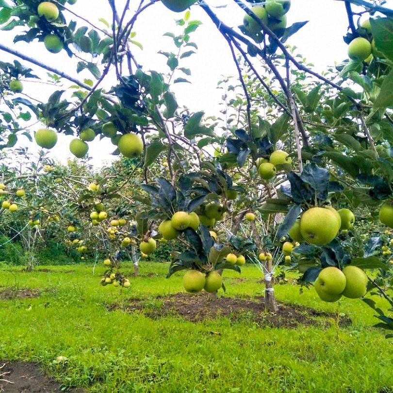 kebun apel